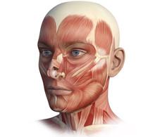 Face, Head, Anatomy Digital Il...