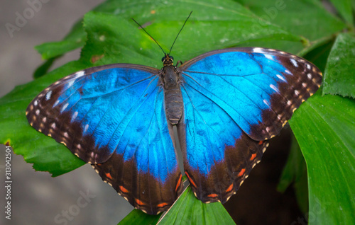 Obraz na plátne Morpho peleides, the Peleides blue morpho, common morpho or the emperor is an iridescent tropical butterfly found in Mexico, Central America, northern South America, Paraguay and Trinidad