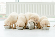 Retriever Puppies Eating From ...