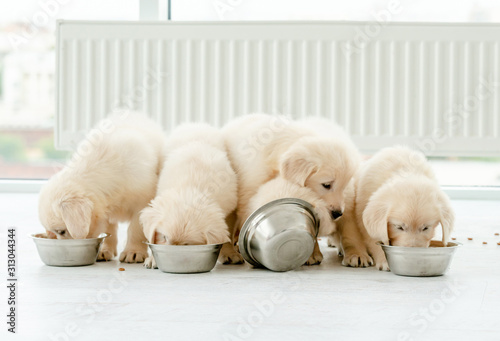 Fotografie, Obraz Retriever puppies eating from bowls