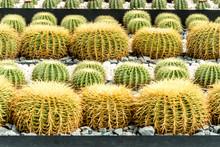 Golden Barrel Cactus In The Ga...