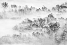 Trees In The Fog At Sunrise