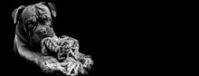 French Mastiff With A Black Background