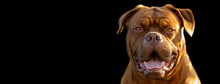 French Mastiff With A Black Ba...