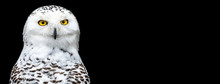 Snowy Owl With A Black Backgro...