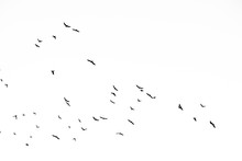 Real Photo Of Flying Crows On ...
