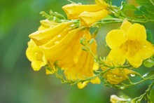 Close Up Beautiful  Yellow Flower On Blurred Green Background  With Copy Space  Under Day Light , Natural  Green Landscape View  Use For Background Or Wallpaper , Selective Focus .