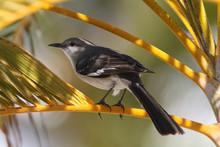 Northern Mockingbird Mimus Pol...