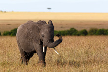 Elephant On The Plains Of The Masai Mara Game Reserve In Kenya