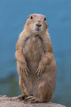 Prairie Dog (Cynomys) Standing Against Muted Blue Background Portrait