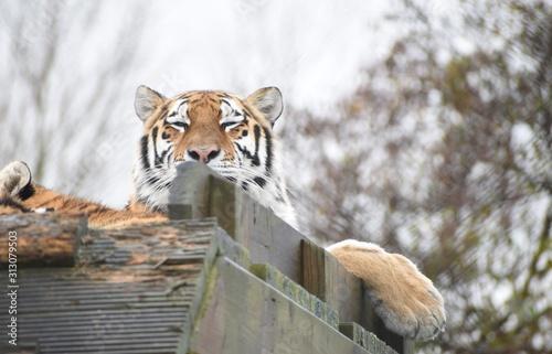 piekny-tygrys-amurski-i-mlode