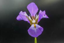 Purple Flower On Black Backgro...