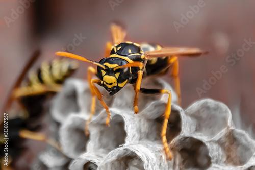 Canvastavla wasp sitting on top of wasp nest close up