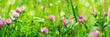 Leinwandbild Motiv Banner 3:1. Butterfly on purple clover (trifolium) flower on meadow. Spring nature background. Soft focus
