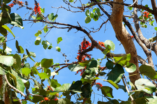 Photo Butea monosperma flowers in nature.