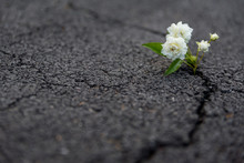 Flower On Asphalt