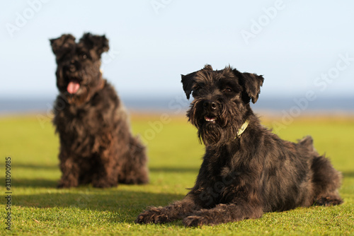 Obraz Two big black dogs Giant Schnauzer lies on the grass, with tongue out - fototapety do salonu