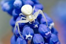 Spider Misumena Vatia On A Mus...