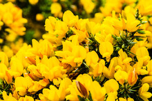 Ulex Europaeus, Gorse Yellow Flowers On The Hills Of The Howth Peninsula In Ireland