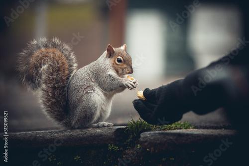 scoiattolo che mangia Canvas Print