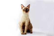 Siamese Cat  Are Sitting On W...