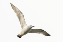 Gull In Flight , Young Bird. T...
