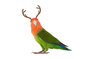 lovebird portrait with horns on a white background