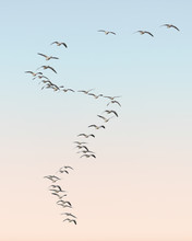 Snow Geese Migration In S Curve Formation At Bosque Del Apache National Wildlife Refuge In New Mexico