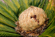 Cone With Fruits Of Female Cycas Revoluta Cycadaceae Sago Palm