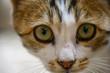 canvas print picture - Katze Kopf mit großen Augen