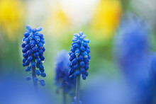 Flowers Of Grape Hyacinth, Muscari Armeniacum, Spring In The Garden.