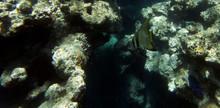 A Bat Fish Swimming In The Sea