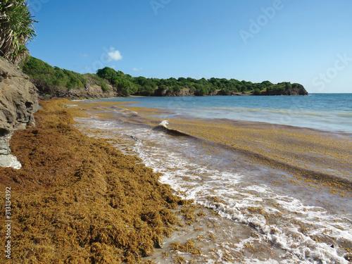 Sargassum seaweed on the coast of the Caribbean Sea Fototapeta