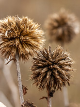 Thistle On A Background