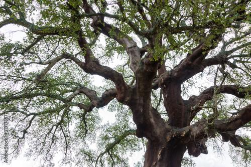 500 years old, CORK OAK (Quercus suber), Faia Brava private reserve, Portugal, E Canvas Print