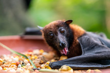 A Curious Flying Fox Eating