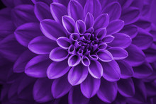 Purple Dahlia Petals Macro, Floral Abstract Background. Close Up Of Flower Dahlia For Background, Soft Focus.