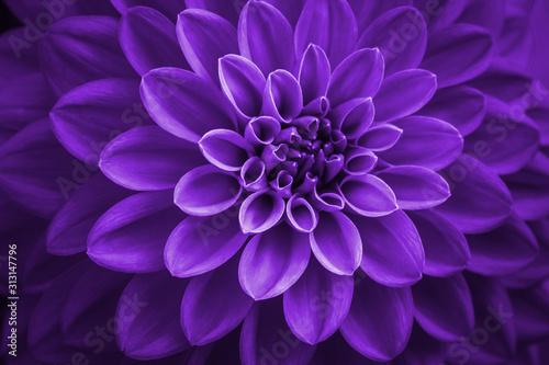 Obraz na plátně purple dahlia petals macro, floral abstract background