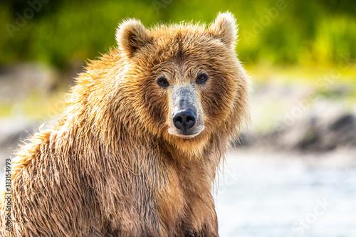 Photo  Ruling the landscape, brown bears of Kamchatka (Ursus arctos beringianus)