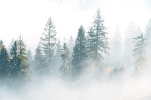 Fog Over Spruce Forest Trees A...