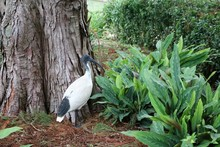 Ibis Threskiornis Molucca In R...