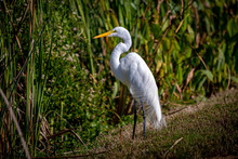 Great White Egret Sunning In Reeds