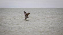 Pelican Diving For Fish In Ocean