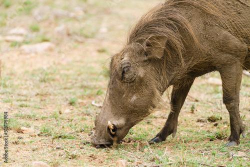 Warthog (Phacochoerus africanus), taken in South Africa Wallpaper Mural