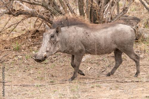 Photo Warthog (Phacochoerus africanus), taken in South Africa