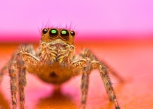 Close Up The Jumping Spider An...