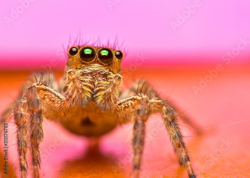 Close up the jumping spider and pink background Canvas Print