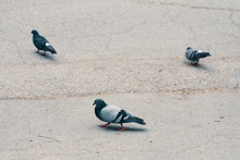 Group Of Birds. Three Pigeons Standing On Grey Floor. Facing The Different Way