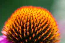Closeup Of A Purple Coneflower