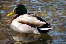 Duck On The Creek